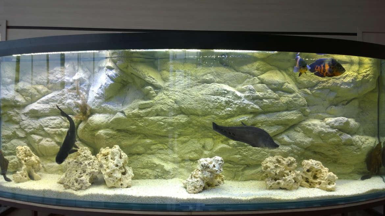 ЗВЕРЬ В КЛЕТКЕ. Содержание огромных рыб в офисе и дома