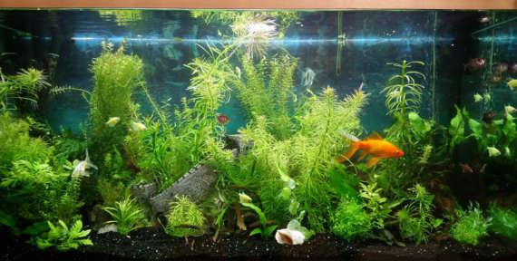 Золотые рыбки: как избежать пошлости?
