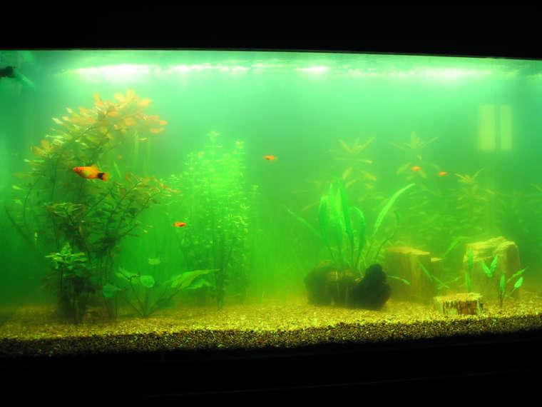Как быть, если мутнеет вода в аквариуме?