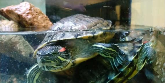 Внимание: черепахи!